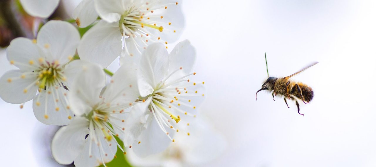 bie, pollinerende insekt