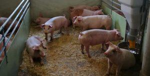 Forslag til nye dyrevelferdskrav for slaktegrisar
