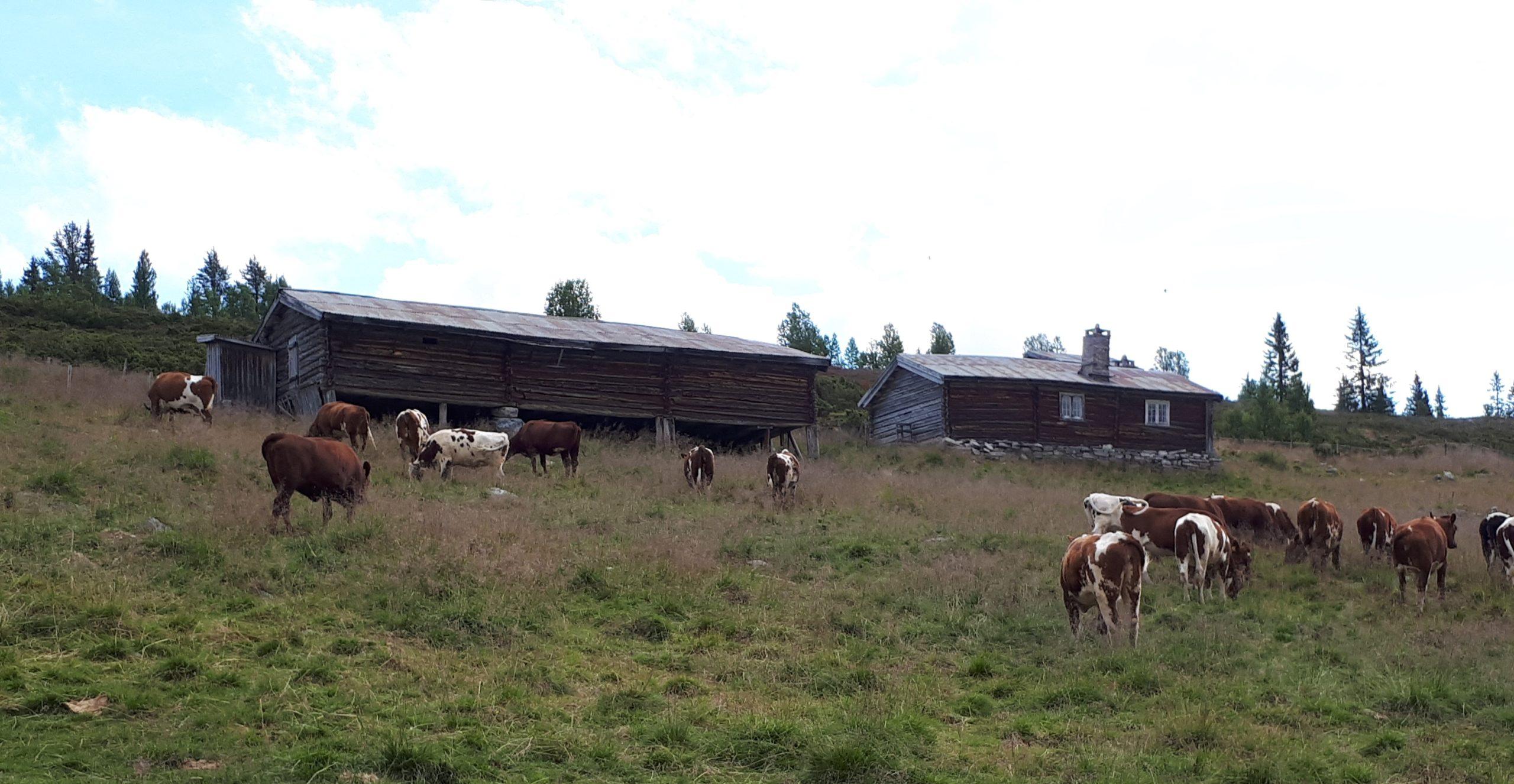 """Setra mi"" – sommaraksjon hos Norsk Seterkultur"