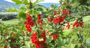 2021 – det internasjonale året for frukt og grønt